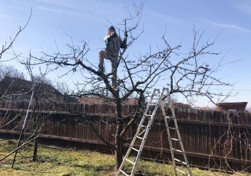 Zimní řez jabloní